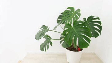 Monstera faux philodendron