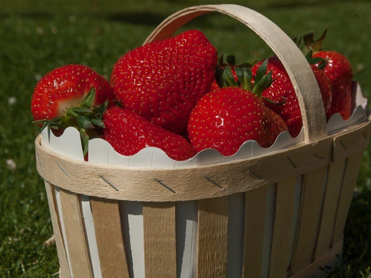 Comment Entretenir Les Fraisiers En Automne fraisier : comment le planter, le cultiver et récolter