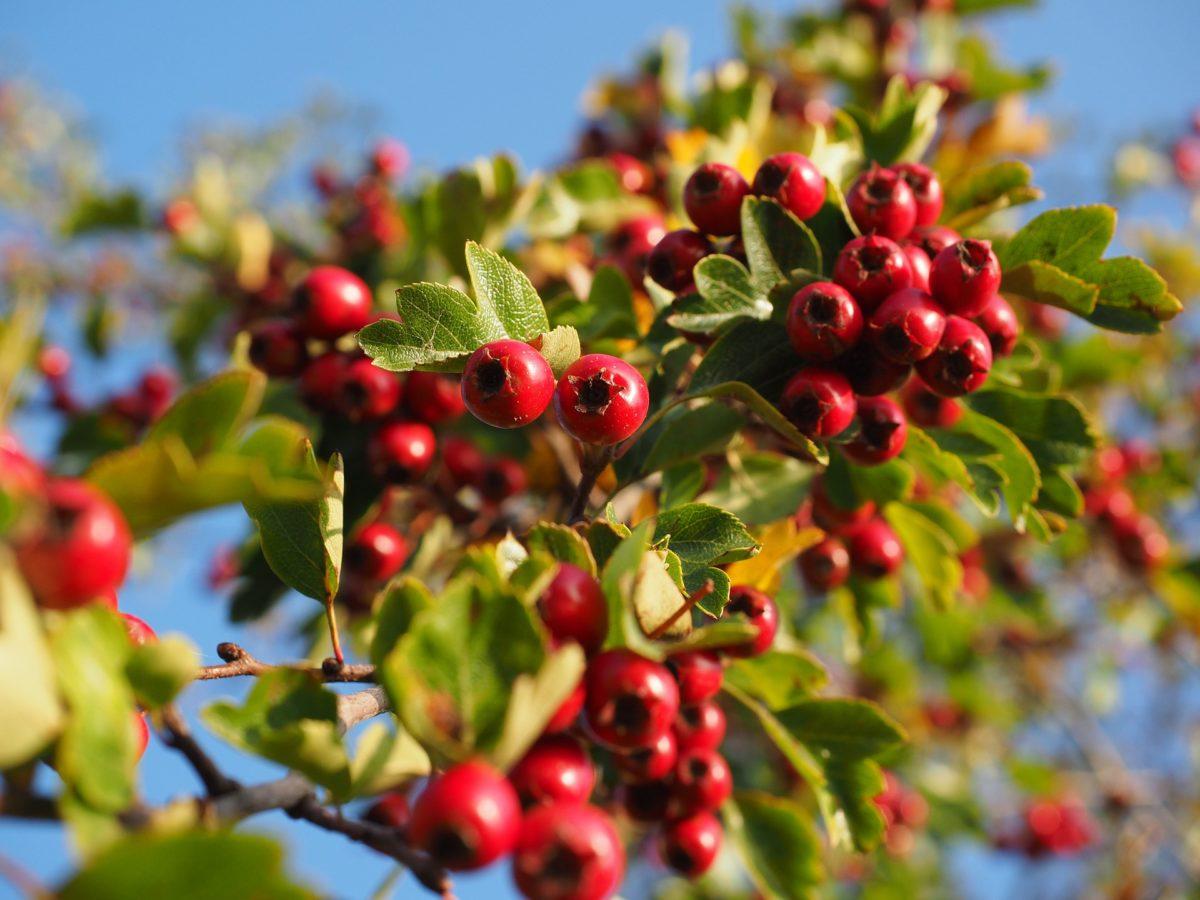 Aubépine arbre buisson