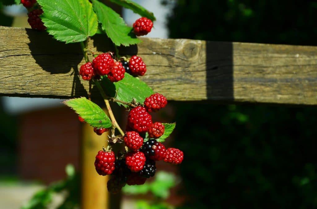 fruits septembre mûre