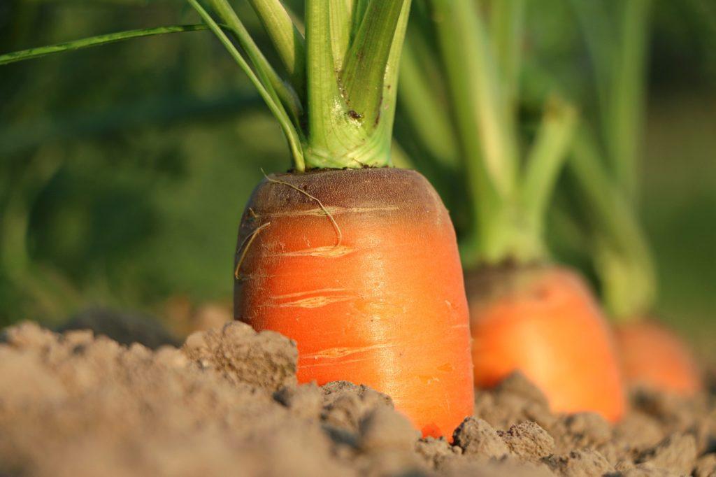 carottes