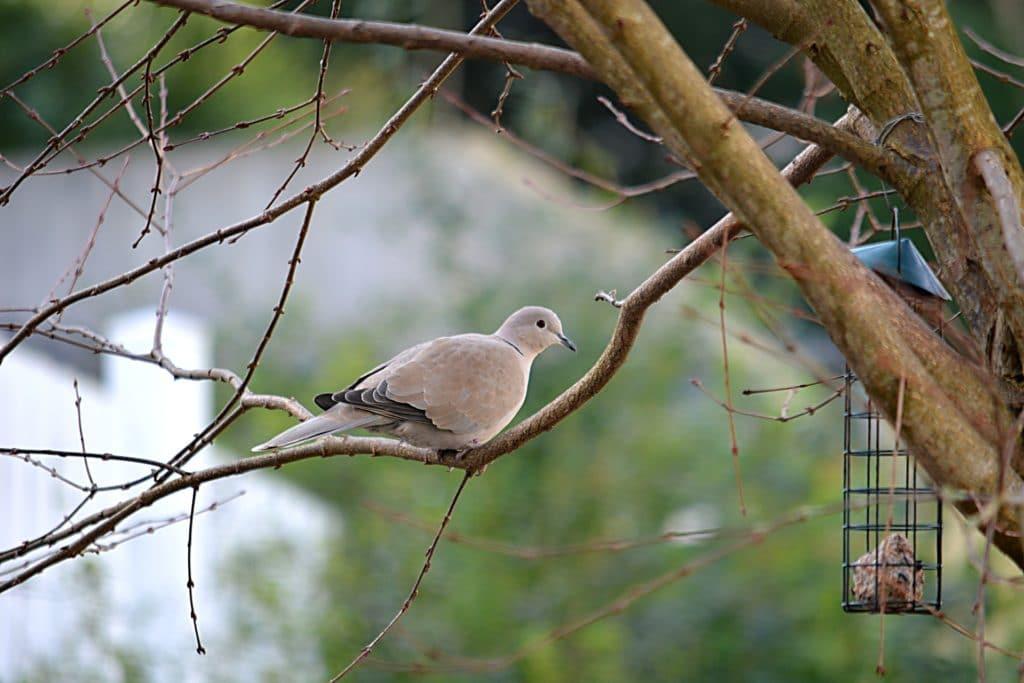oiseau tourterelle turque