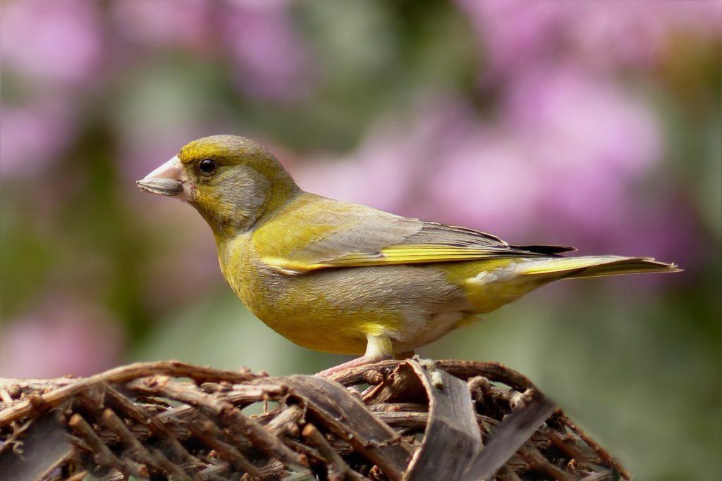 oiseau verdier d'Europe