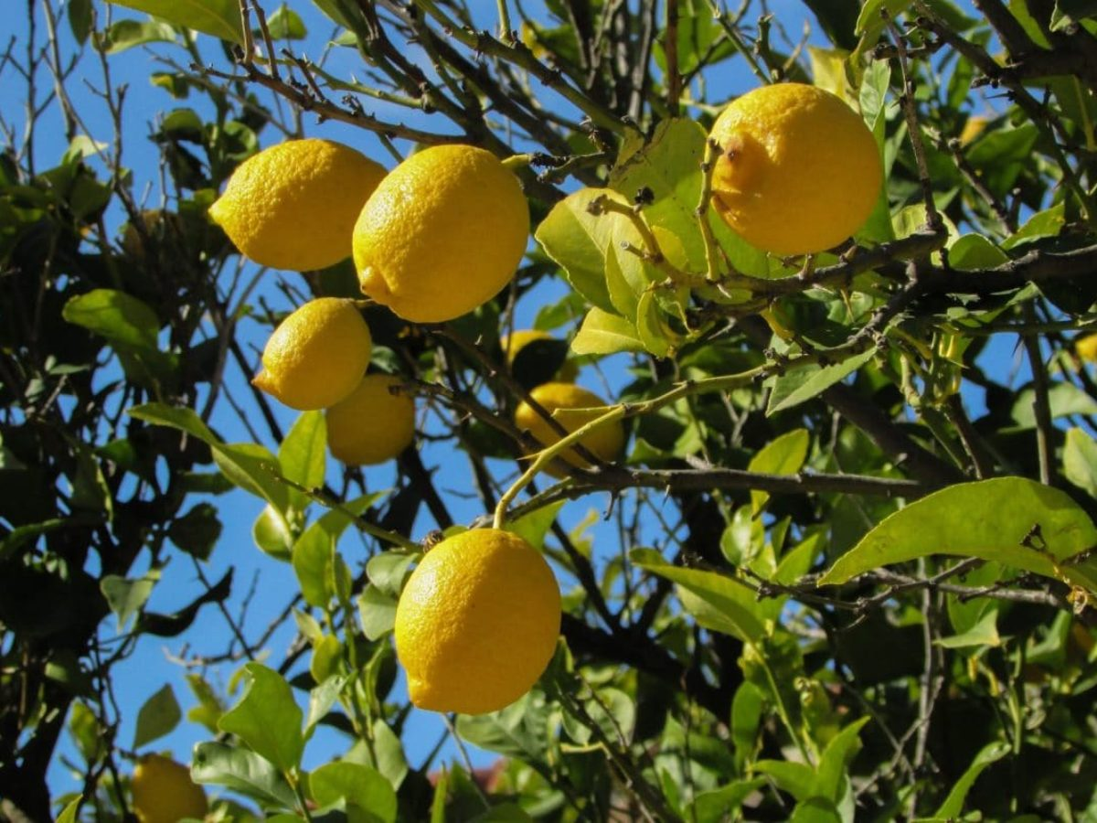 Comment Cultiver Un Citronnier En Pot citronnier : comment planter ce fruitier acidulé ?