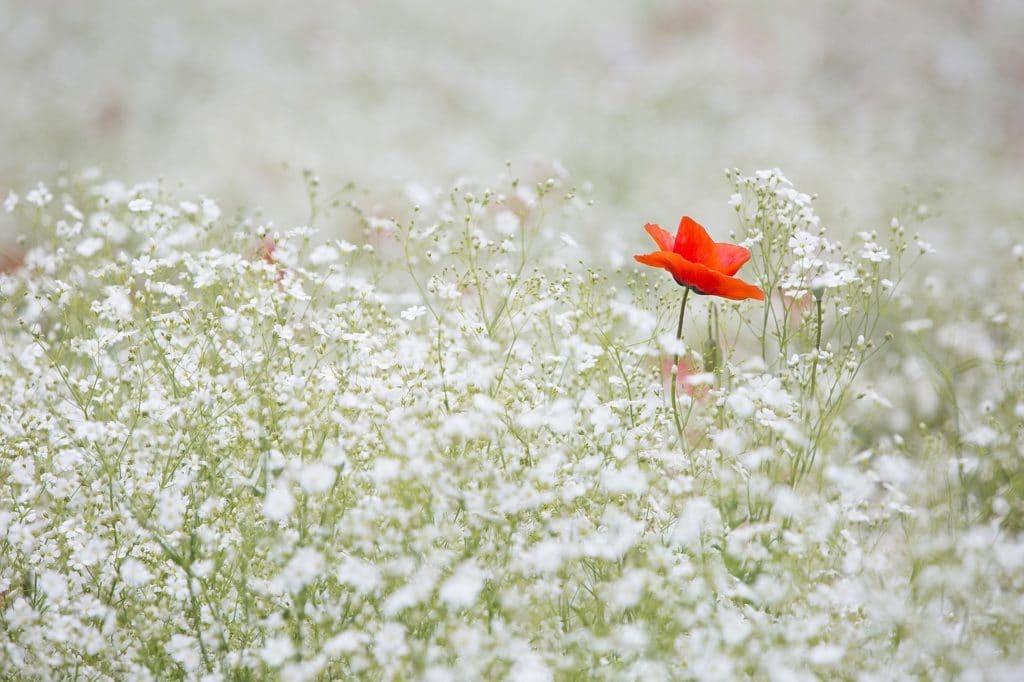 jardin fleurs coquelicot