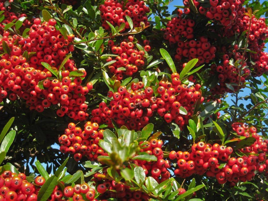 pyracantha arbre buisson