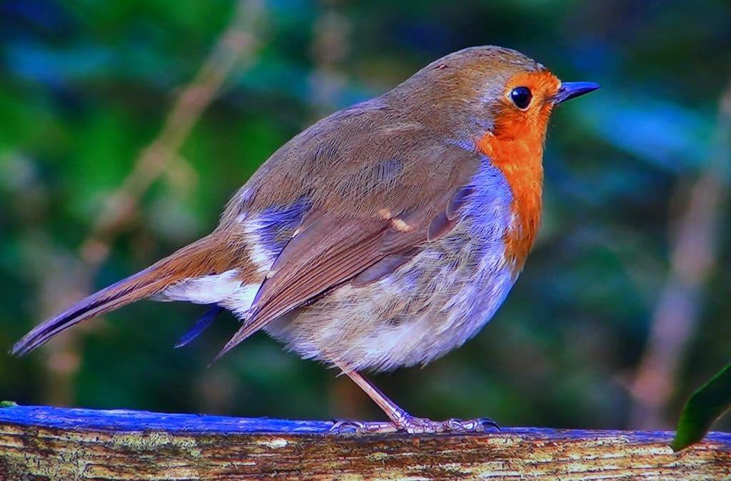 oiseau rouge-gorge