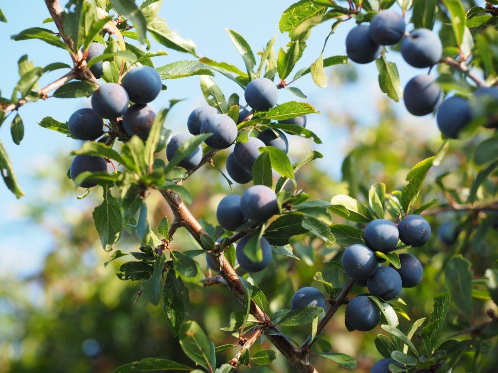 prunellier prunes arbre