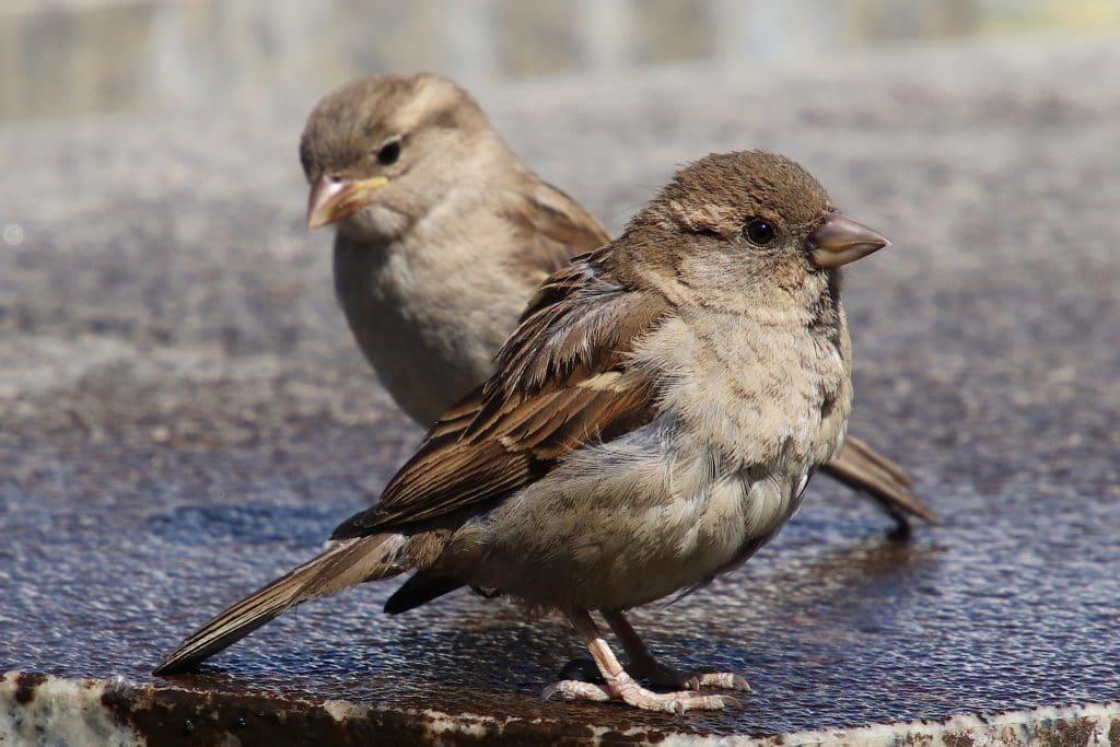 oiseau moineau