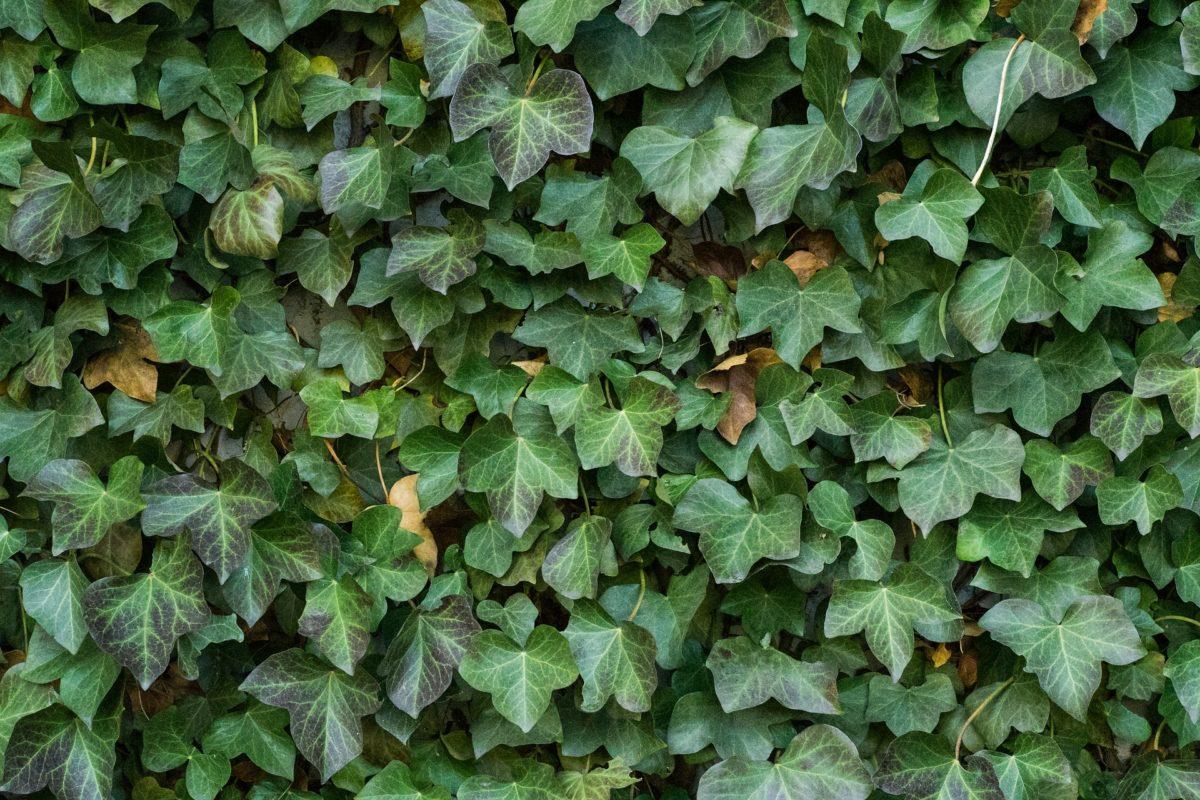 lierre plante