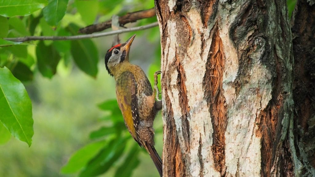oiseau pivert