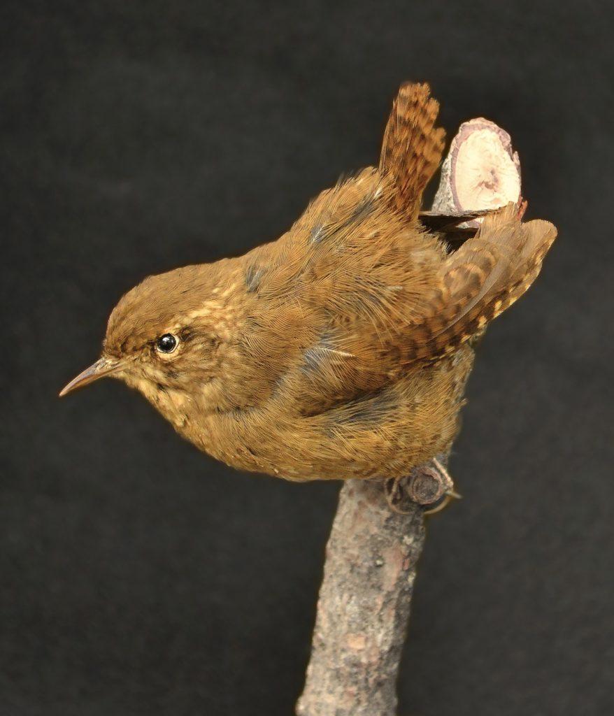 oiseau troglodyte mignon