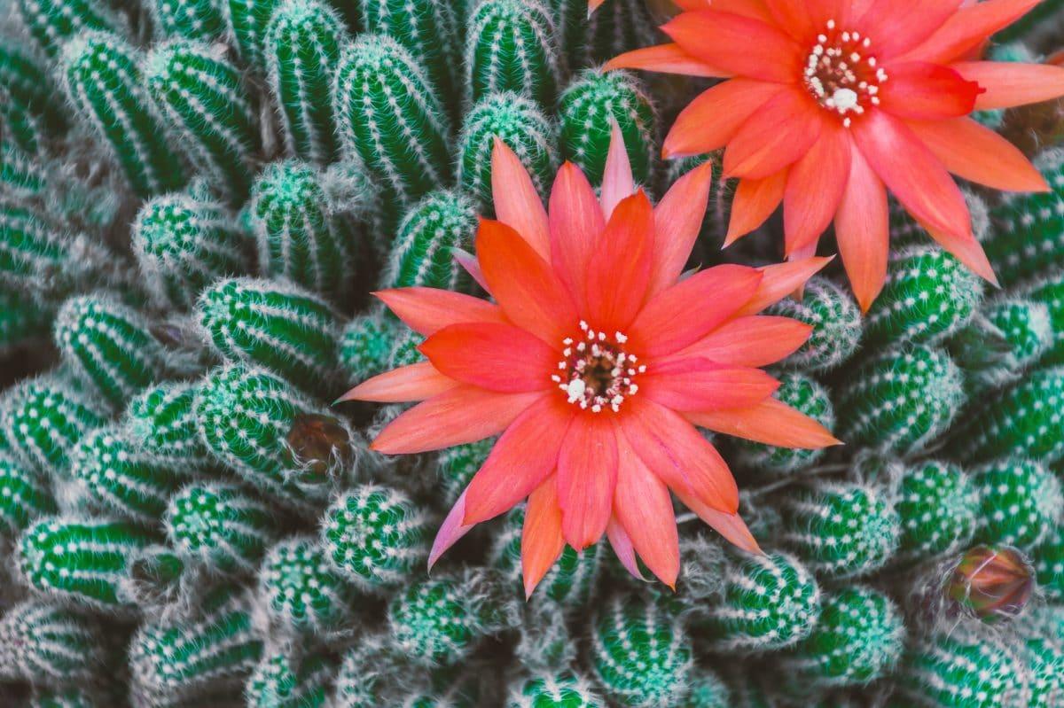 cactus : comment le faire fleurir ? - jardiner facile
