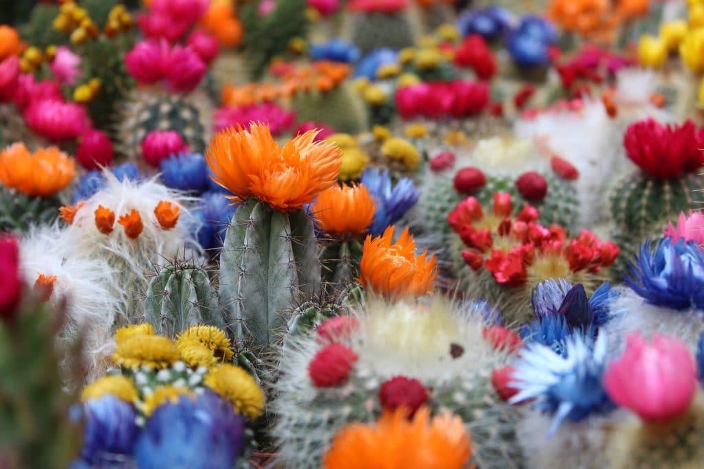 cactus fleur