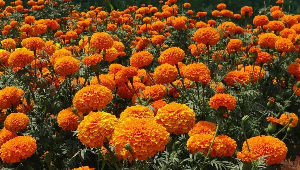 oeillet fleurs