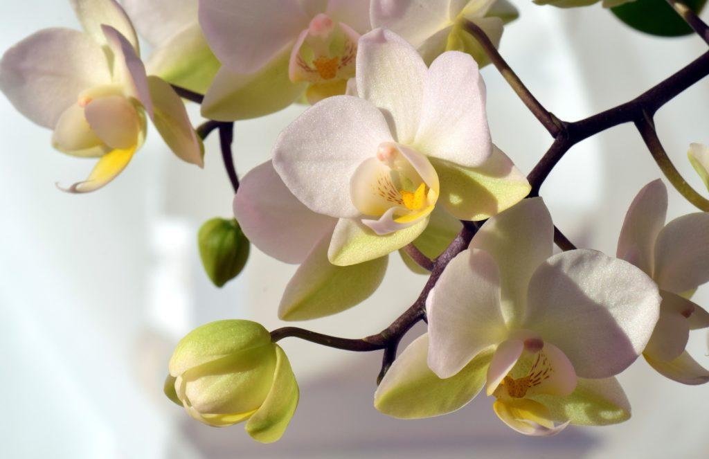 orchidée phalaenopsis fleur