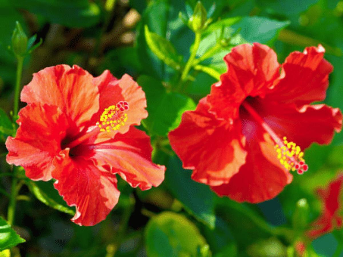 Hibiscus Conseils Entretien Rempotage Et Floraison