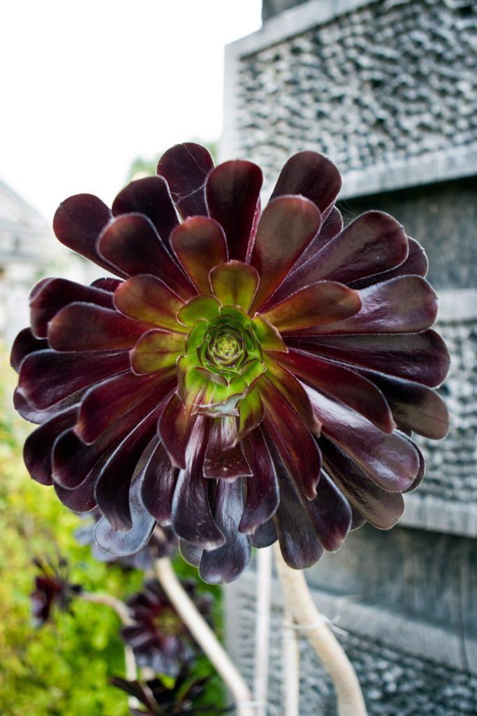 fleurs noires Aeonium