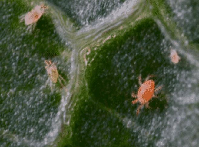 araignées rouges