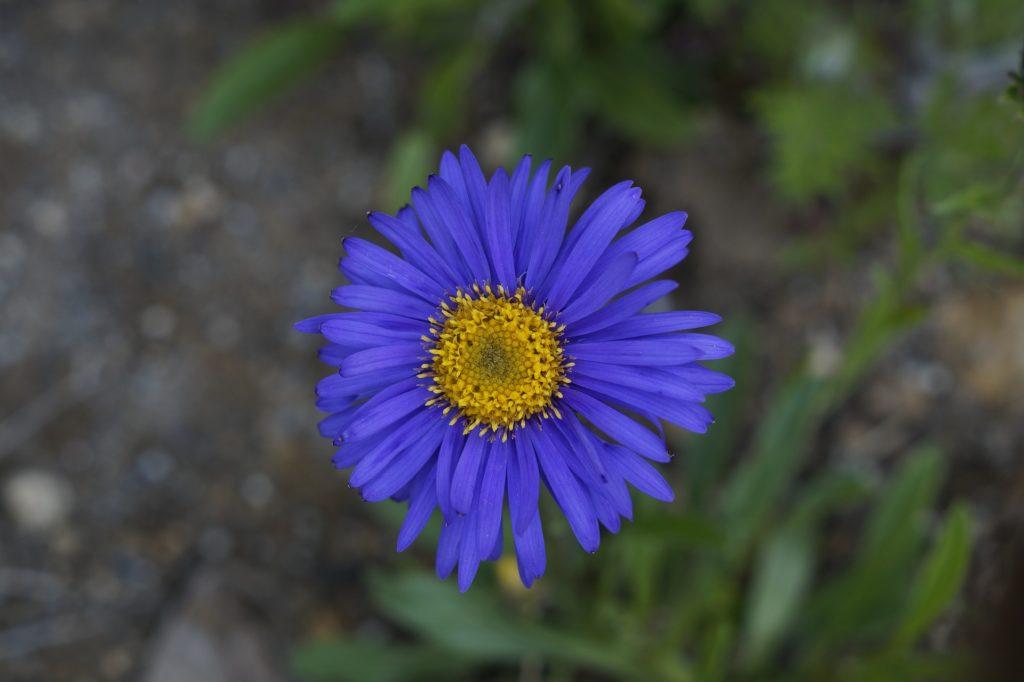 aster fleur été