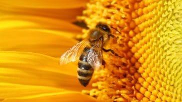 apiculture abeille