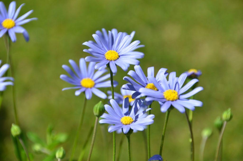 bleu felicia fleur