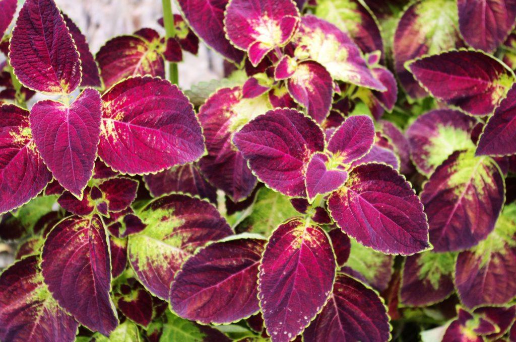 fleurs noires Coleus