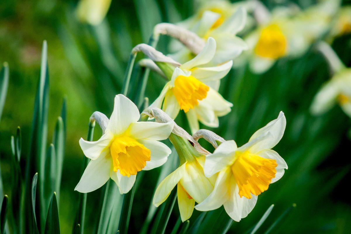 narcisse fleur
