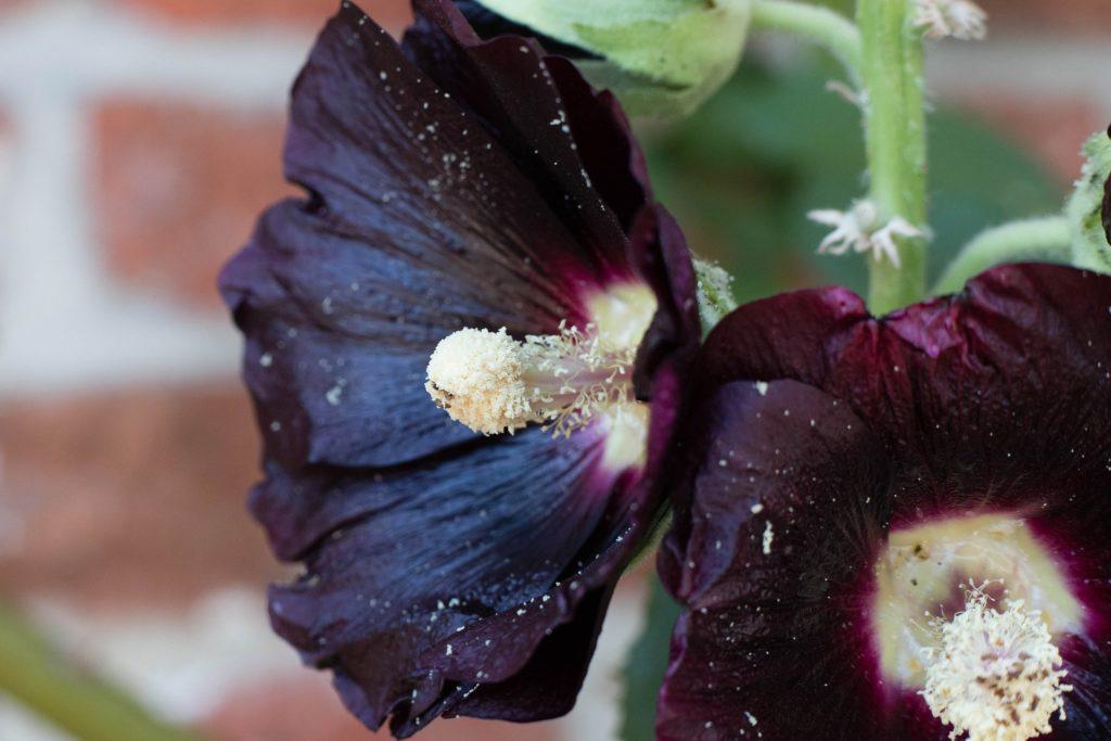fleurs noires rose trémière