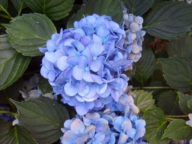 hortensia fleur