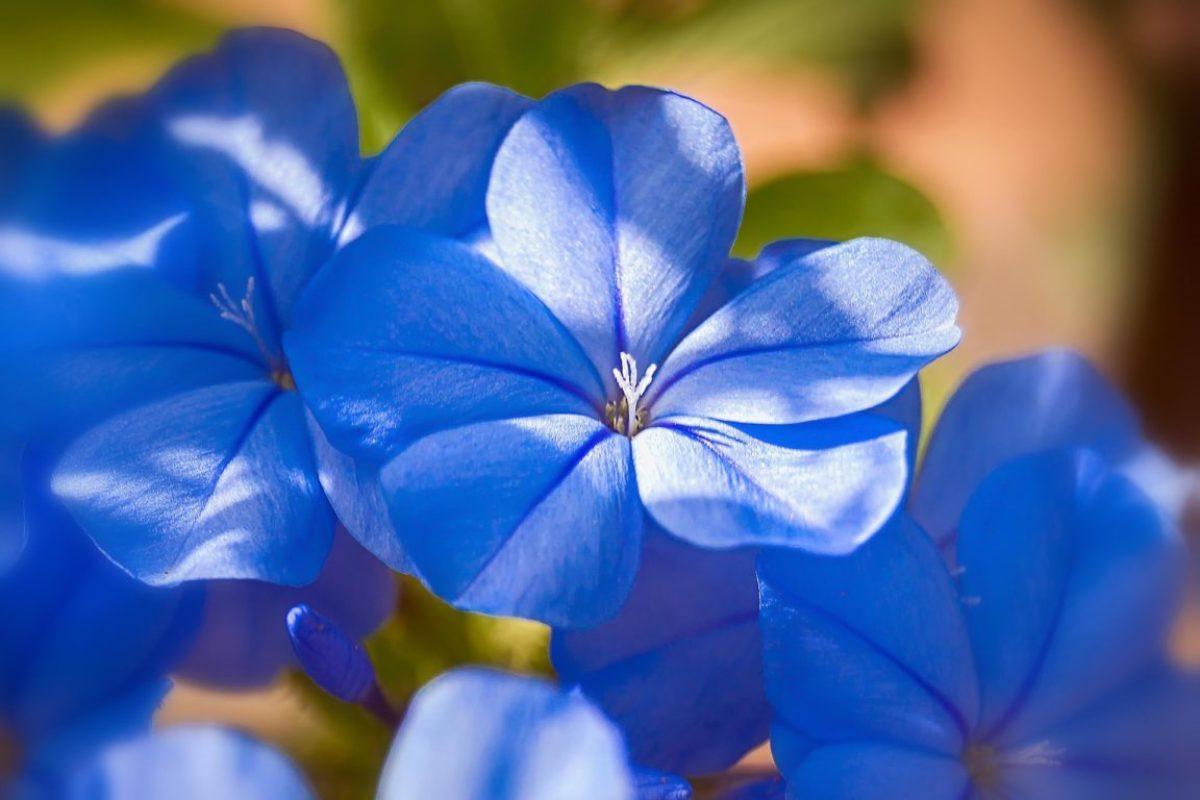 Des Fleurs Bleues