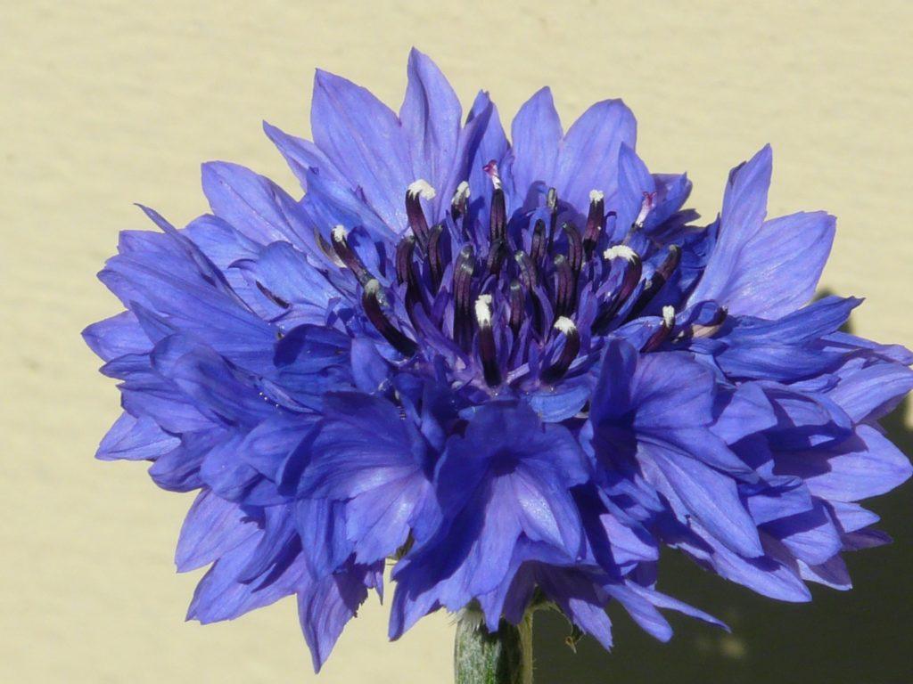 centaurée bleuet fleur