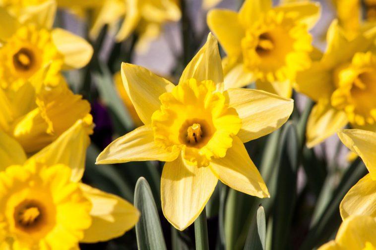 narcisse planter en automne pour de belles fleurs au printemps. Black Bedroom Furniture Sets. Home Design Ideas