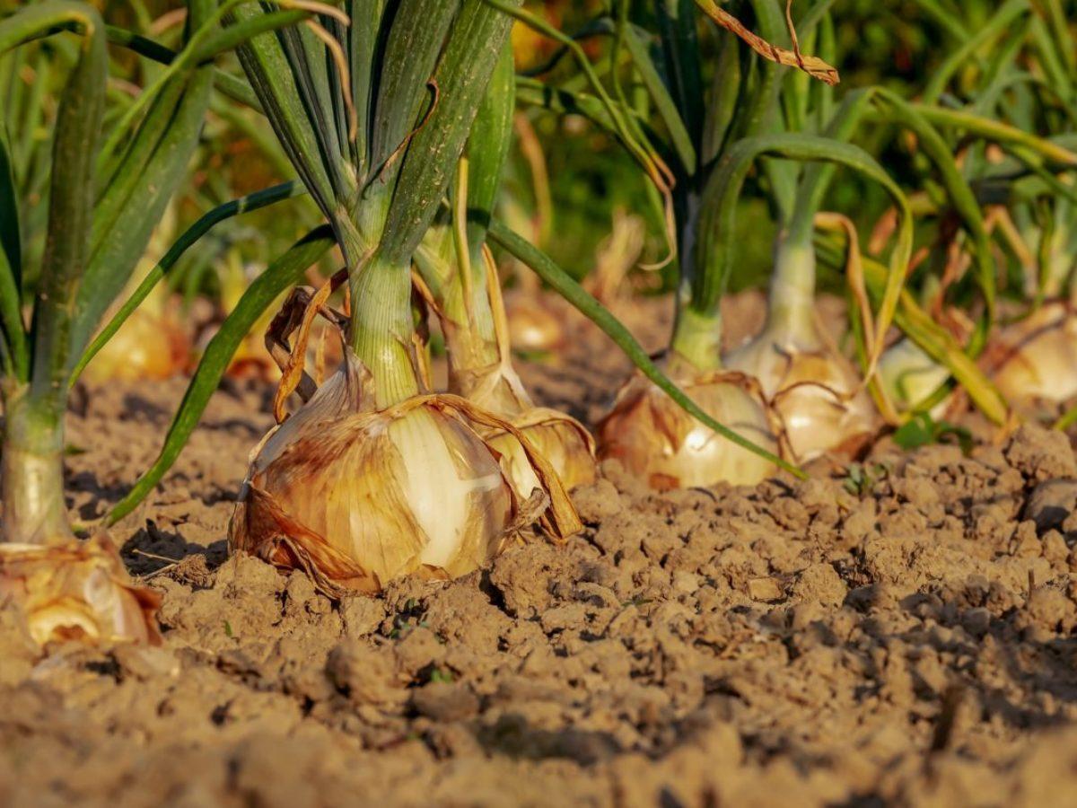 Oignon Blanc A Planter oignon : comment le planter, le cultiver et le récolter