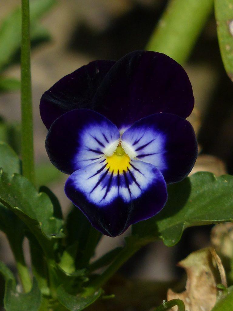 fleurs noires pensée