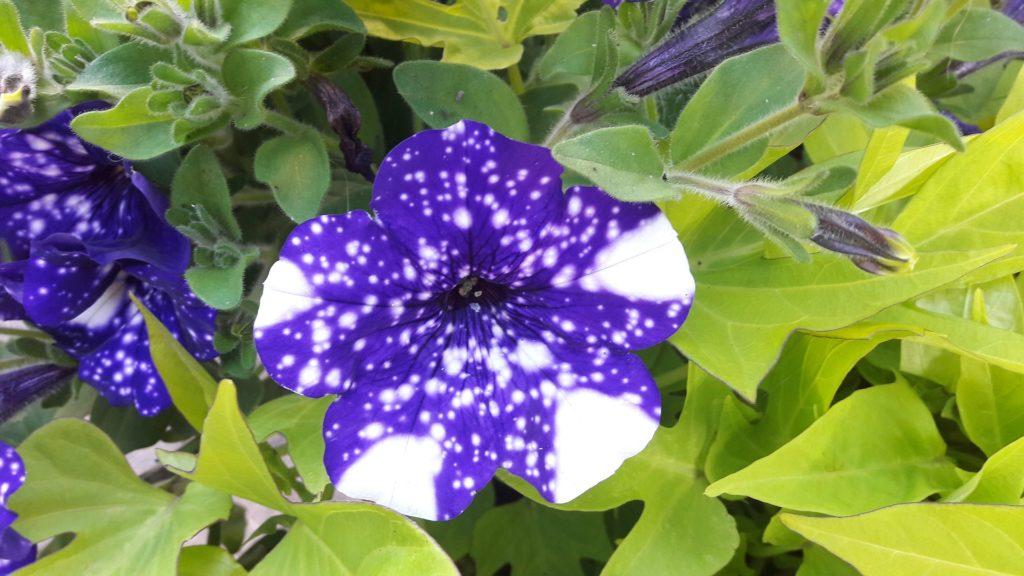 petunia fleur