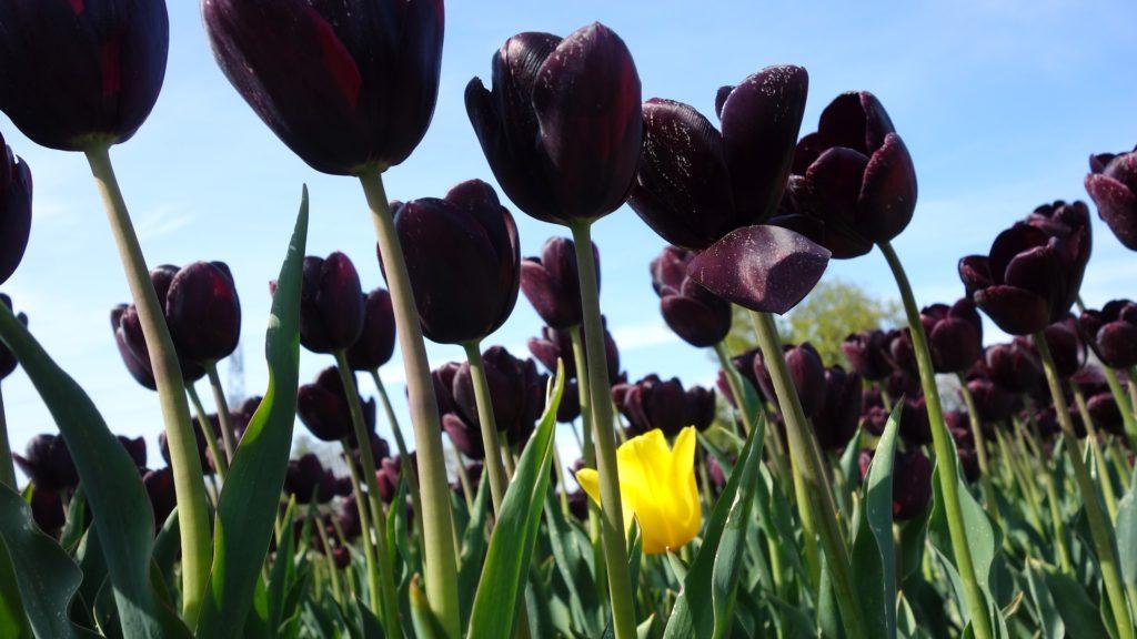 fleurs noires tulipe