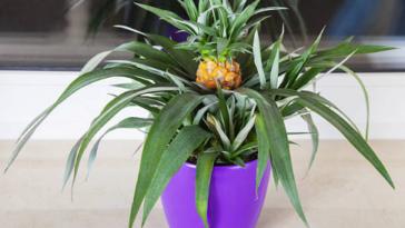 plantes bromélia ananas
