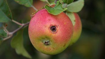 Carpocapse pomme trou ver