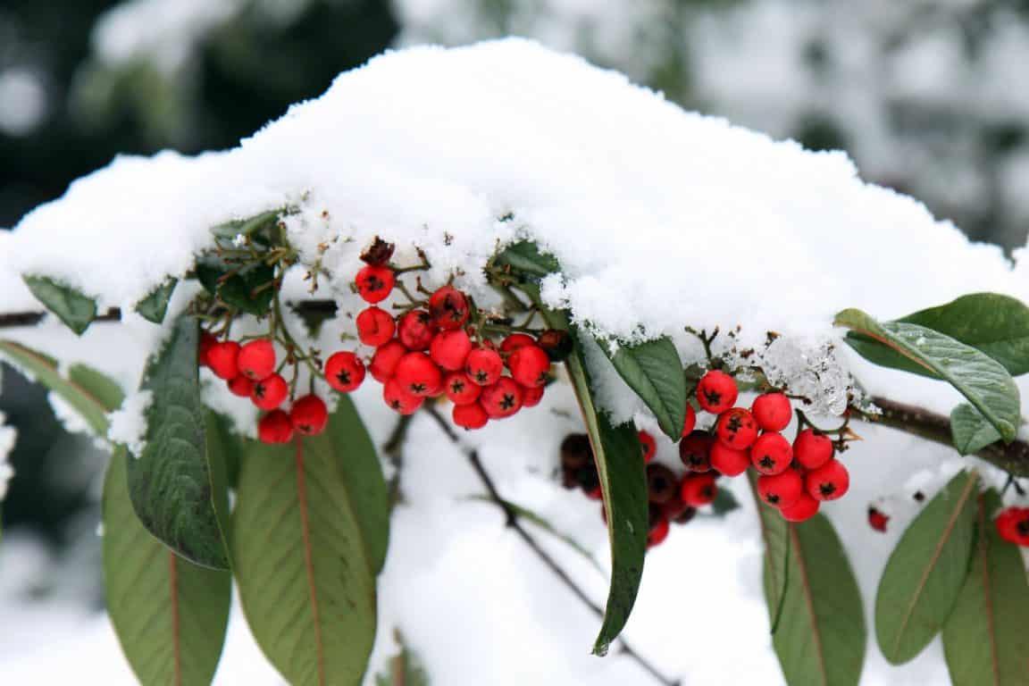 Décembre au jardin baies neige