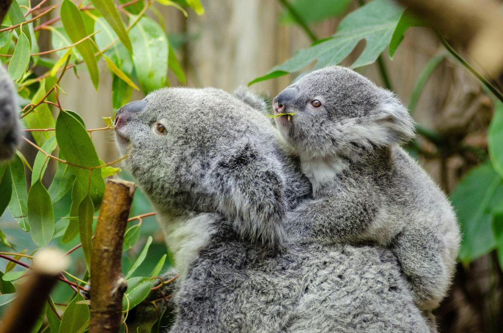 eucalyptus car koala.