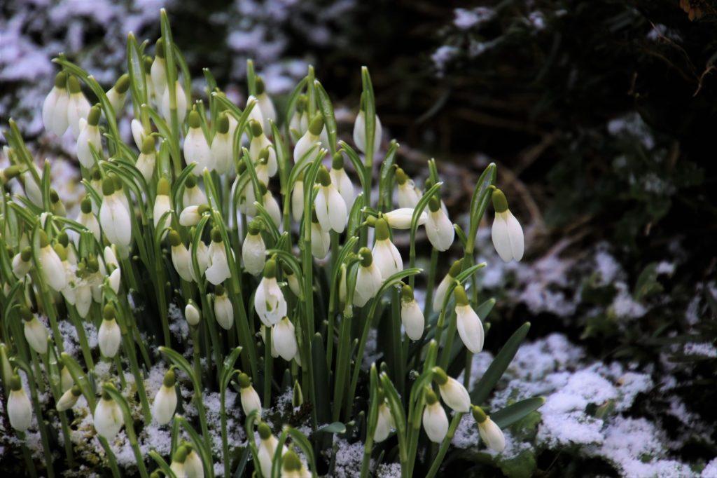 fleurs hiver perce neige décembre jardin