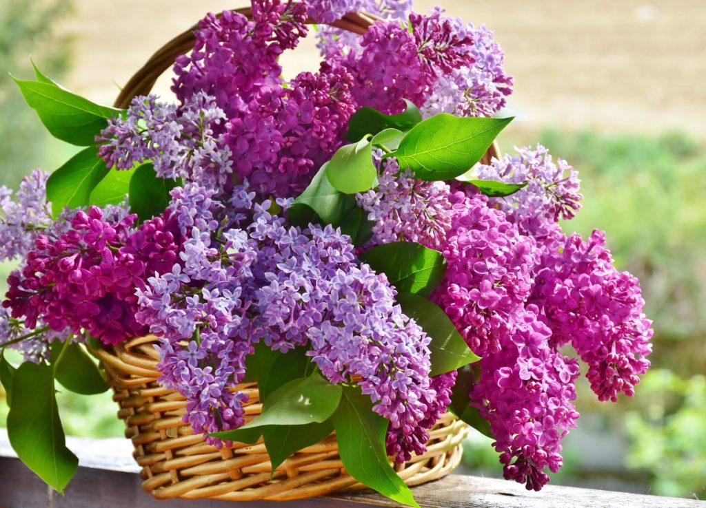 lila fleur
