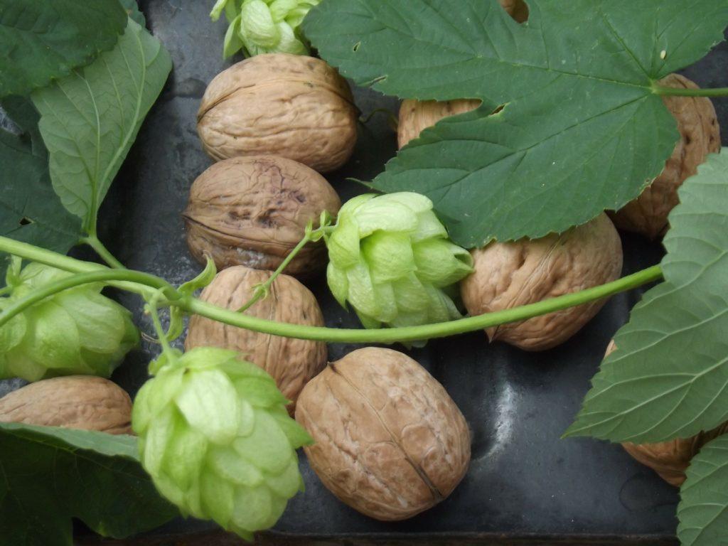 houblon noix