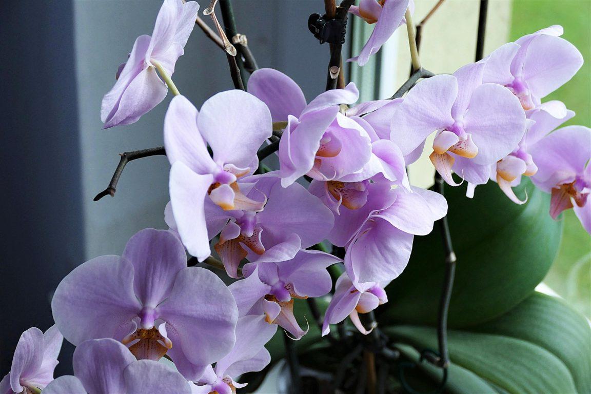 plantes salle de bain orchidée
