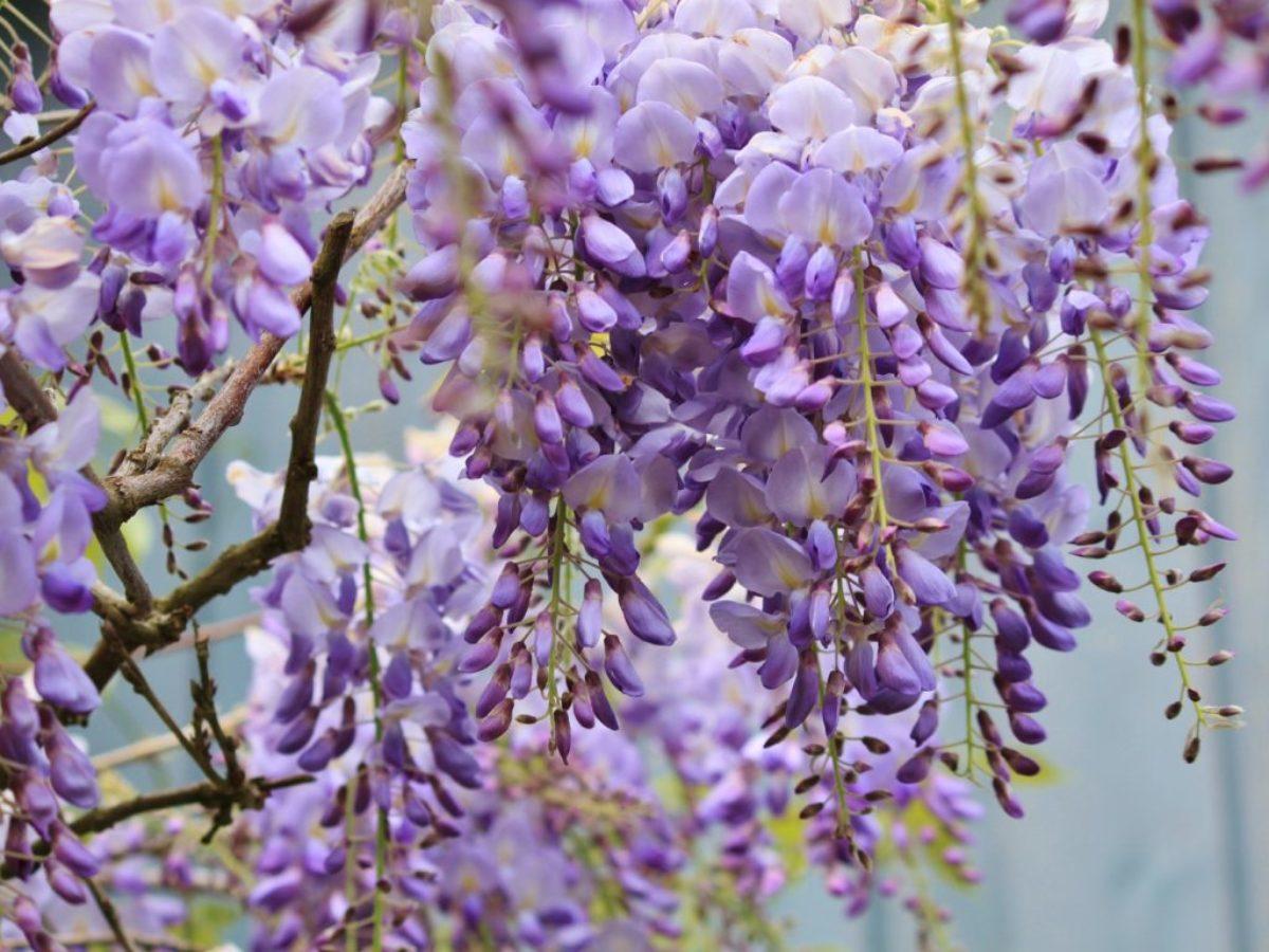 Graines De Fleurs Qui Poussent Très Vite glycine : plantation, entretien et taille de cette plante