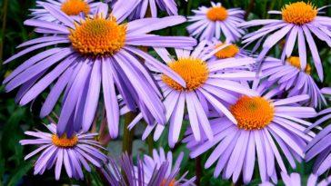 aster fleurs avril