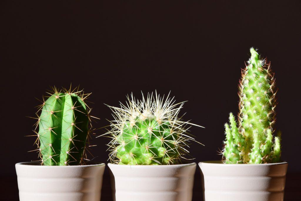 plantes d'intérieur cactus entretien
