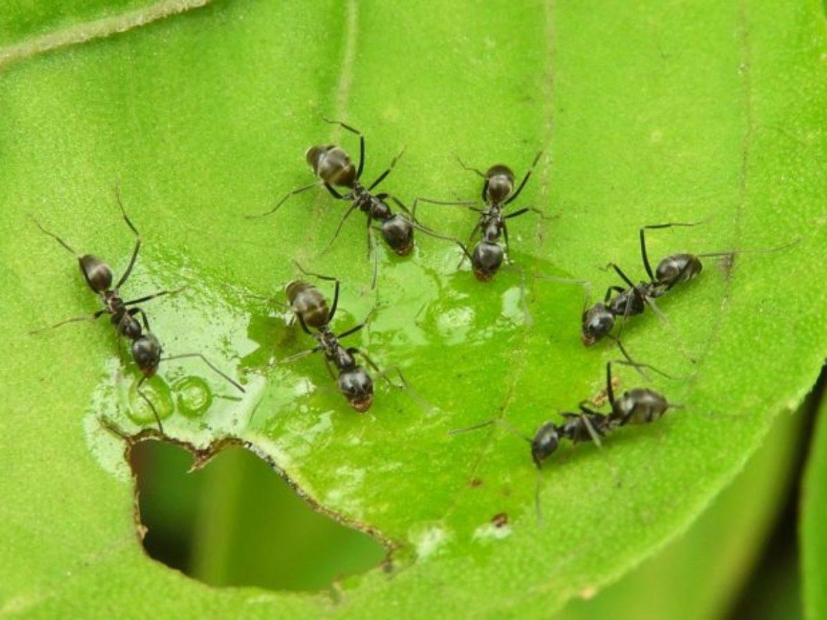 Astuces Naturelles Pour Se Débarrasser Des Fourmis fourmis : que faire en cas de colonisation dans le jardin ou