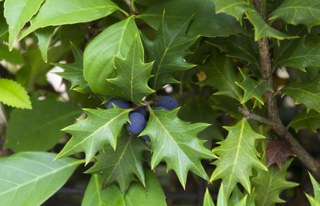 osmanthe à feuilles de houx